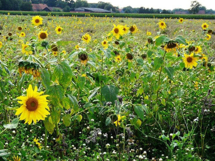 Sonnenblumenfeld bei Olfen Krs. Coesfeld