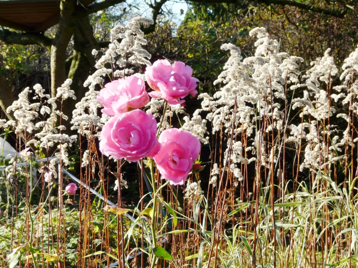 Letzte Rosen in unserm Garten