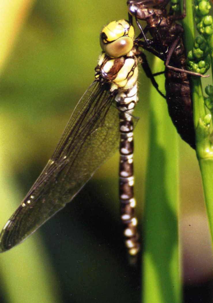 Libelle,eben geschlüpf
