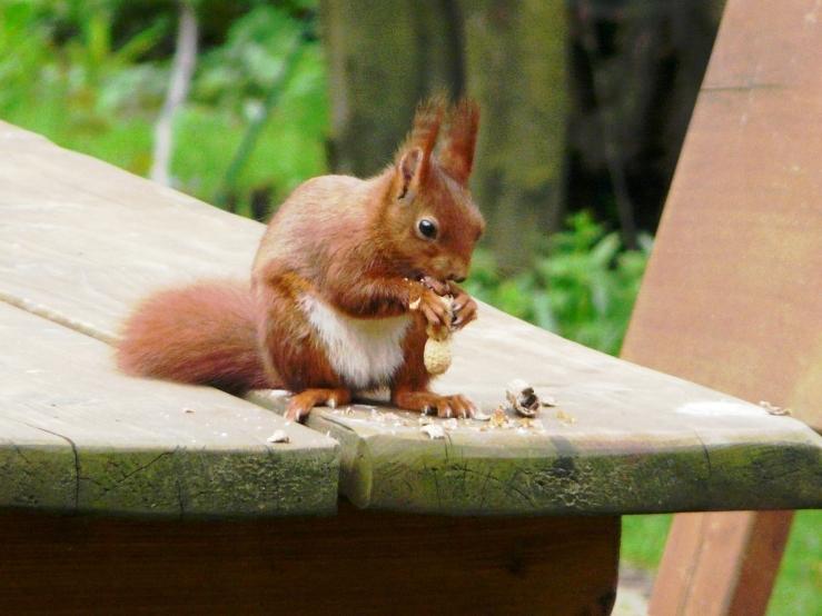 Eichhörnchen mag peanuts
