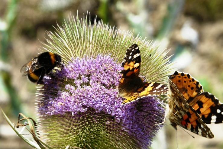 Schmetterlinge mit Hummel