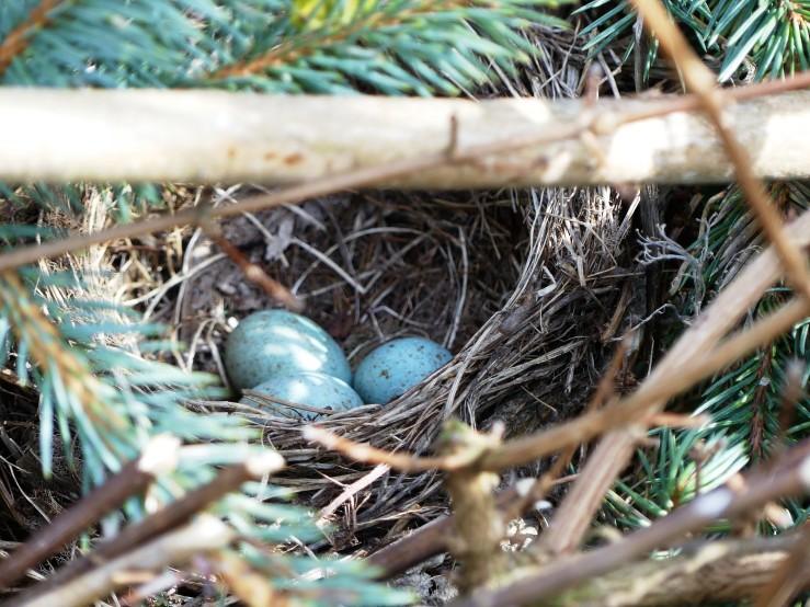 Vogelnest mit 3 Eiern