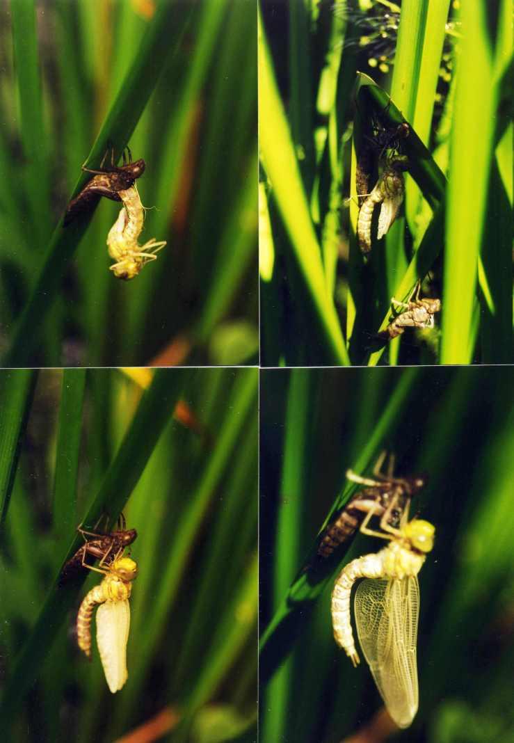 01.Geburt einer Libelle0011