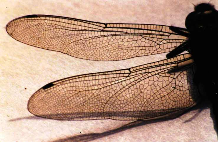 03.Libellenflügel0003
