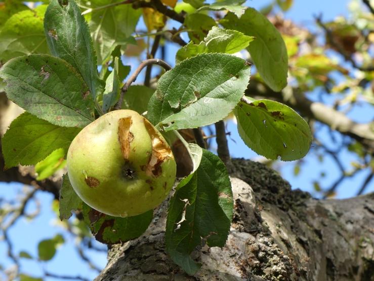 Spätherbst in unserm Garten -4- Der letzte Apfel