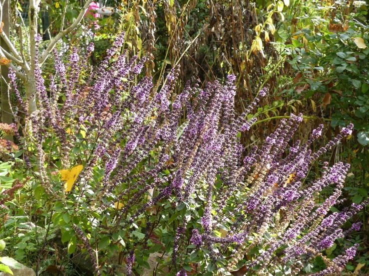 Spätherbst in unserm Garten - 3- Salbei